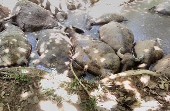 Nông dân khóc ròng vì đàn trâu lăn ra chết bất thường, nghi bị đầu độc