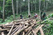 """Bảo đảm gỗ hợp pháp theo VPA-FLEGT: """"Bóng"""" trong chân các chủ thể mua sắm"""